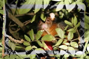 Jpeg multi-quality hack of a possum